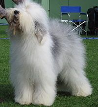 Old english sheepdog Ch Bobbyclown's Dare for More.jpg**.