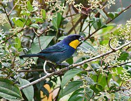 The musguerito o gargantilla (Iridosornis porphyrocephalus) es una especie de ave de la familia Thraupidae, que se encuentra al occidente de Colombia y Ecuador, principalmente entre los entre los 1.500 y 2.200 m de altitud, aunque se ha encontrado entre los 750 y 2.700 m.1  Descripción[editar] Alcanza 15 cm de longitud total. La mayoría del plumaje color azul purpurino, cada vez más azul en la parte inferior de la espalda, que puede verse con tonos verdosos al reflejar la luz. En contraste…