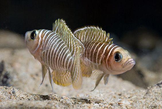 Неолампрологус симилис / Neolamprologus similis #неолампрологус #симилис #рыба
