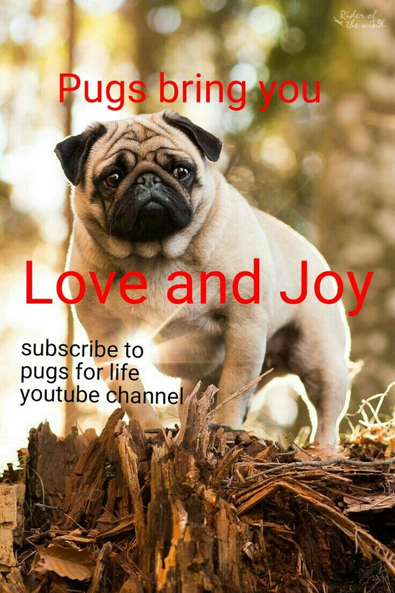 Love and joy Please subscribe to pugs for life Youtube channel