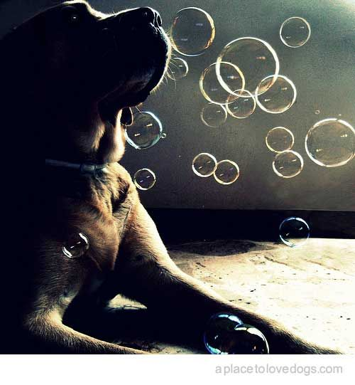 Dogs and Bubbles...two of my favorite things (tselomi:fairydream:andi-b)