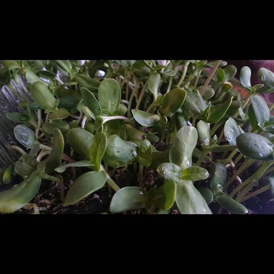 Yesss my sunflower  sprouts are ready to eat  yummy! Now just waiting for that cider  #microgreens #sprouts #sunflowersprouts #purelove by saraleesays