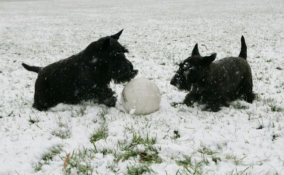 Barney & Miss Beazley play with their soccer ball in the snow on the South Lawn of the White House on Wednesday, Dec. 5, 2007.  Photo by Shealah Craighead, Courtesy of the George W. Bush Presidential Library & Museum