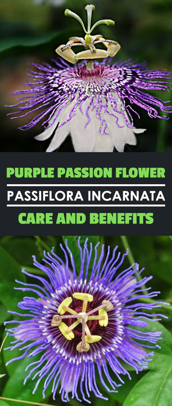 Purple Passion Flower Passiflora Incarnata Care And Benefits Passionsblume Gartenarbeit Fur Anfanger Tropische Pflanzen