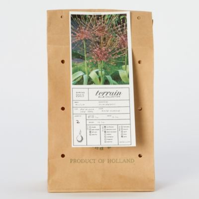Terrain Allium schubertii #shopterrain -back hill