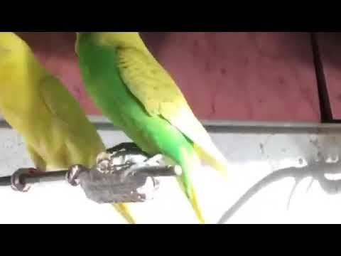 تغريد طيور الحب Youtube Parrot Animals Bird