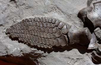 What they found was this partial icthyosaur paddle. Very cool!    Fossil Hunting at Lyme Regis