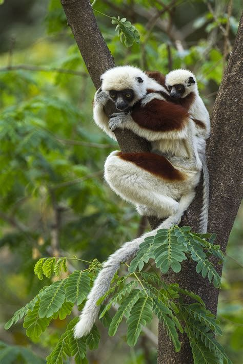 We've gathered our favorite ideas for Coquerels Sifaka Wikipedia, Explore our list of popular images of Coquerels Sifaka Wikipedia.