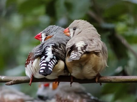 Zebra Finches the male has a red beak and female orange beak ....they love cuddling ...lovely sweet call
