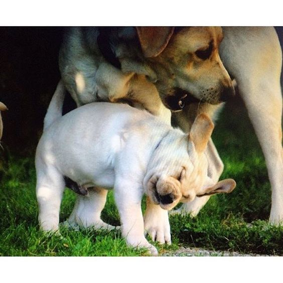 Really Mom enough with the open mouth kissing you are quite embarrassing me (little one if we were there we'd be hugging and kissing you too!) For puppy cuteness overload visit @mya_thelab.and.me. Congratulations Mya and pup you are the Labradors of the Day. #reallymom #shakeitupbaby #shakeitoffbaby #cuteness #cutenessoverload  Interested in a feature? Follow @labradoroftheday and tag pictures with #labradoroftheday and you may be selected as either Labrador of the Day or a newsworthy…