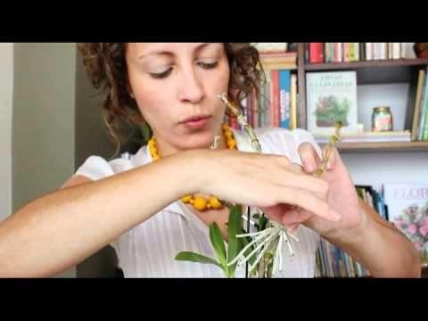 A jornalista Carol Costa explica o que são keikis e mostra como tirar mudas de uma orquídea Dendrobium. Aprenda também a esterelizar corretamente os instrume...