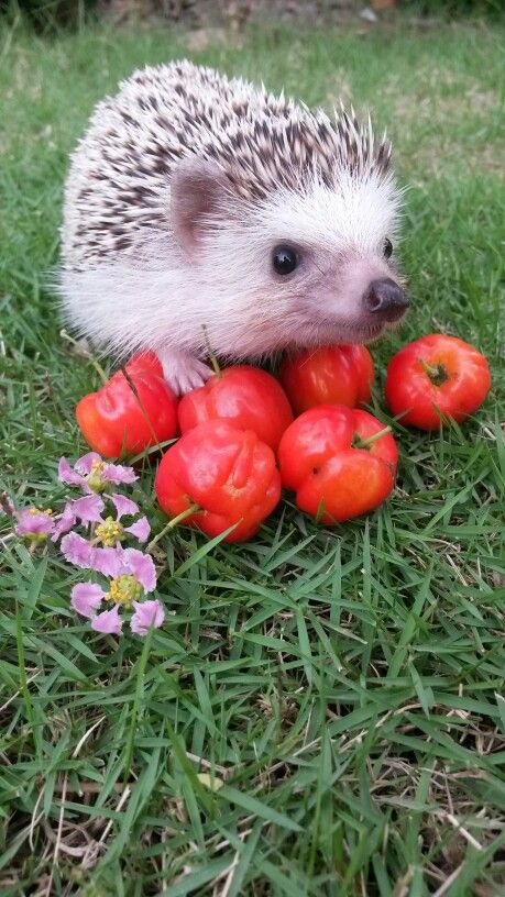 Aw, look at it, so proud of its tomatoes! Those are some wonderful tomatoes, cute hedgehog!: