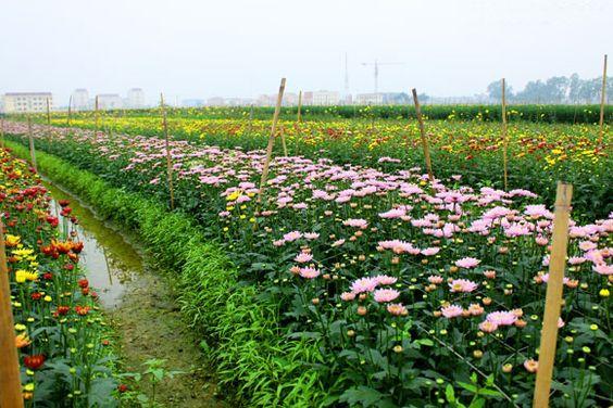 Kết Quả Hinh ảnh Cho Lang Hoa Tay Tựu ở Ha Thanh Co Hinh ảnh
