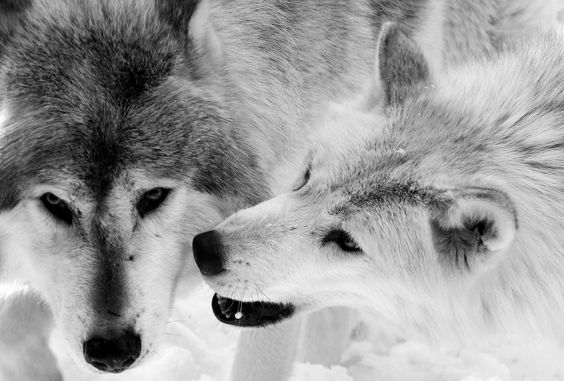 Wolf Valentines by Shannon Kunkle on 500px