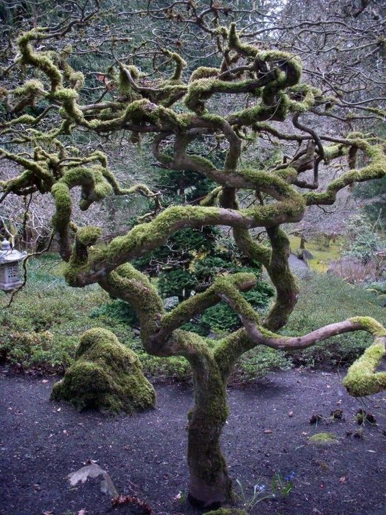 Japanese Culture ~ old twisted mossy tree in Japan
