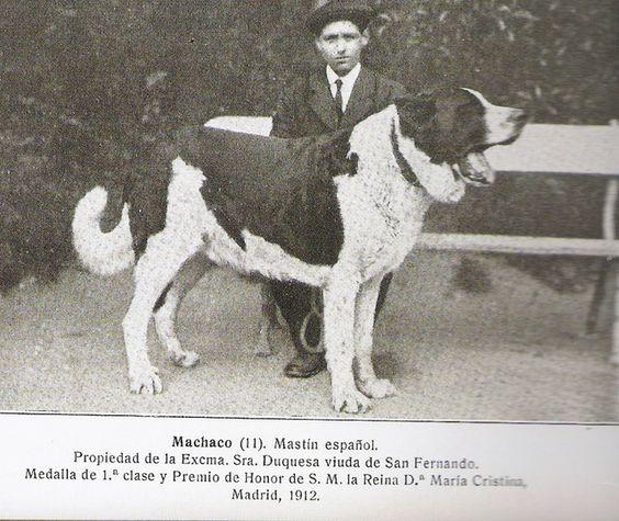 1912 Machaco (primer ejemplar de mastin español inscrito en el L.O.E) Medalla de 1ª clase en Madrid