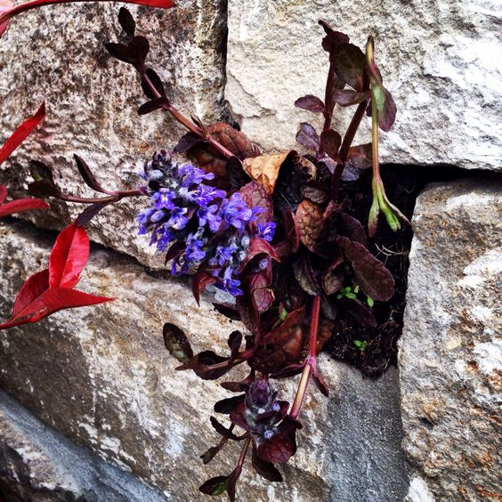 Pflanze in einer Natursteinmauer aus Muschelkalk. Messestand Galabau C. Huhn / MHI NBS