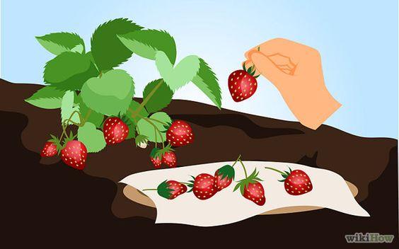 Cómo cultivar fresas - wikiHow