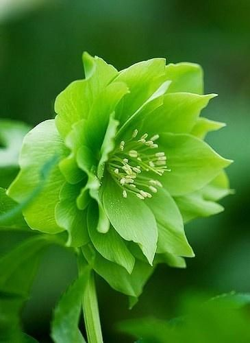 Double helleborus -- wondrous green flower: