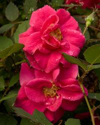 All A Flutter™ Shrub Rose | Shrubs | Southern Living Plant Collection....The disease-resistant All A Flutter™ Shrub Rose produces bright fuschia pink, semi-double blooms and reblooms spring until fall.