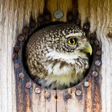 The Eurasian pygmy owl - TobyPhotos/Getty Images