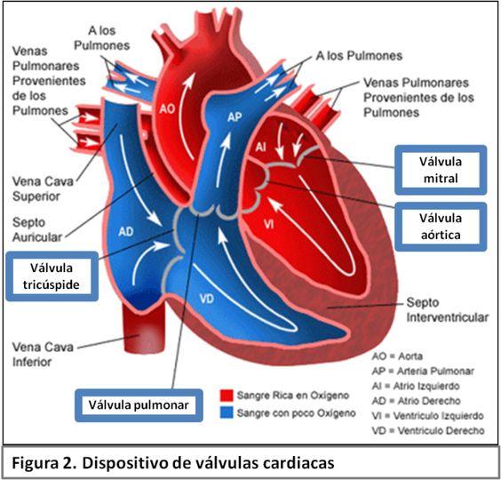 Cavidades cardiacas, flujo y tipo de sangre, válvulas cardiacas. Fundamental para entender la circulación mayor y menor, así como el ciclo cardíaco. #medicina #anatomía #cardiovascular