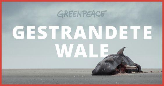 Im vergangenen Winter kamen 28 junge Pottwale an den Küsten der südlichen Nordsee ums Leben. Begib dich nun auf eine interaktive Reise in die…