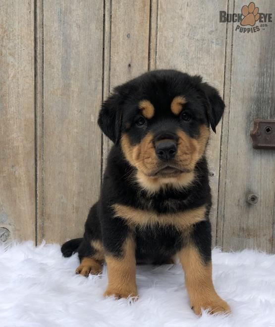 My Dream Pup Rottweiler Puppies Rottweiler Puppies For Sale