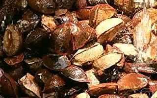 Coleta da castanha é importante fonte de renda para comunidade quilombola no Pará