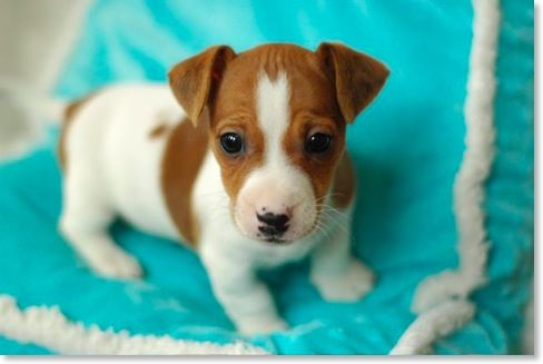 jack russell baby