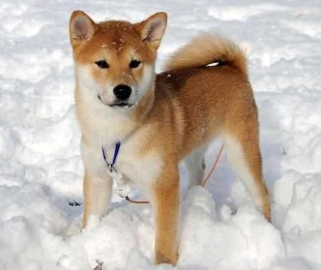 OMG! I have a Shiba Inu and she loves the snow! She loves to roll in it! :D