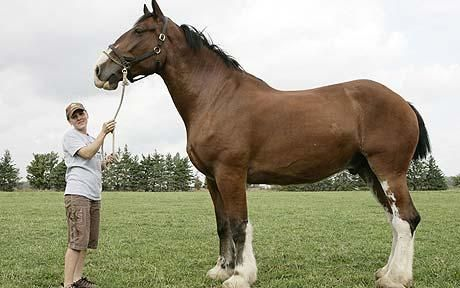 Poe the Clydesdale: the world's tallest horse?