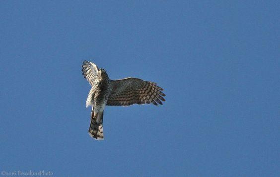Pescalune Photo: Épervier d'Europe (Accipiter nisus), Sparrowhawk