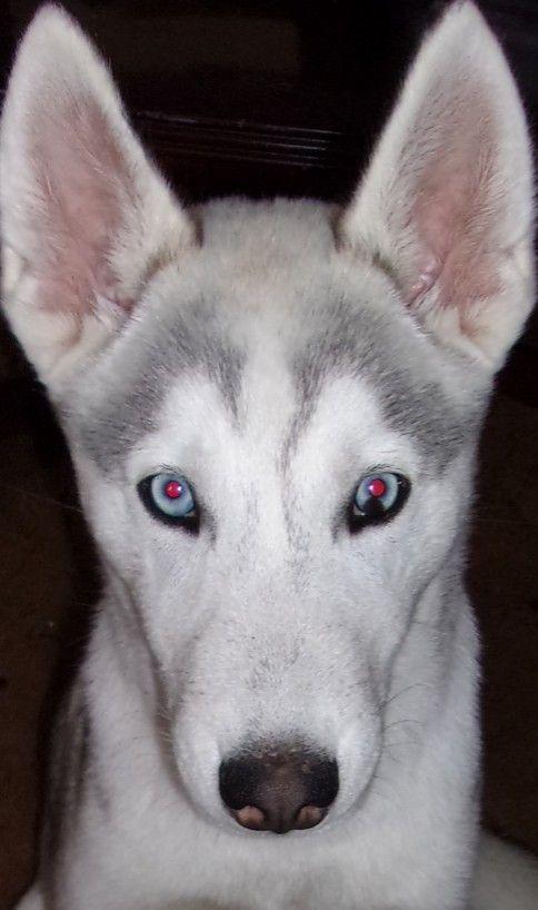 Beautiful Husky Face Husky Faces Husky Siberian Husky