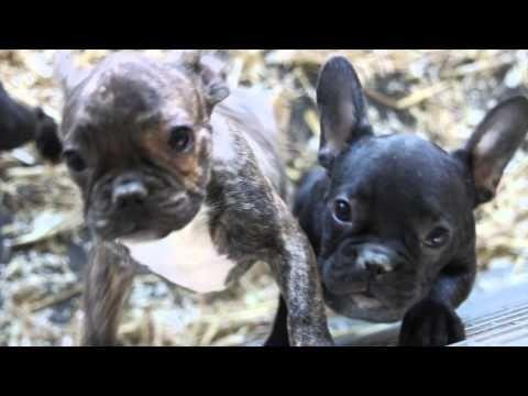 Kaufen Labrador Welpen Chihuahua Welpen Mops Welpen Hunde Chihuah In 2020 Chihuahua Welpen Welpen Welpen Kaufen