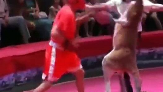 Match de boxe entre kangourou et un boxeur http://www.dailymotion.com/video/k7bNBv0RDyGuDRjGCEv