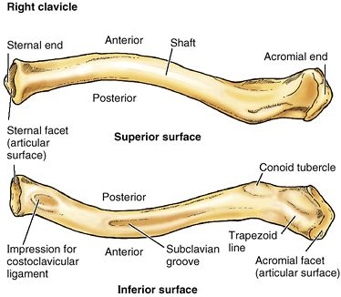 Image result for clavicle labelled
