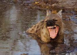 Afbeeldingsresultaat voor Hyena