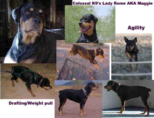 Www Elitek 9 Com Rottweiler Puppies
