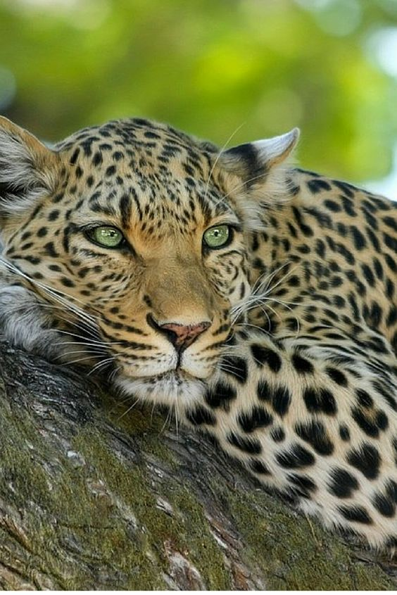 #Leopards love the single life. Unlike other big cats, they can find prey just fine on their own.