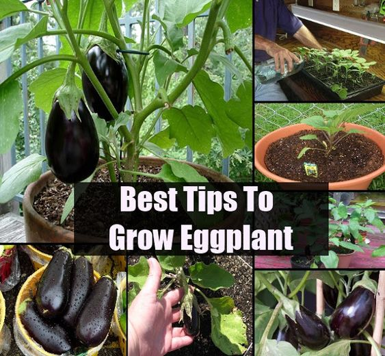 Growing Eggplant From Seeds #vegetable_gardening (My