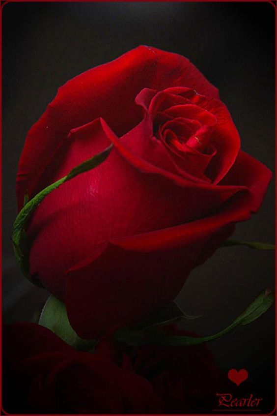 Love this deep red rose for wedding flowers. Haven't  a bouquet I love yet but I love this color red.
