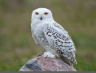 Burung Hantu Putih Burung Burunghantu Owl Whiteowl Burung Hantu Burung Boneka Burung Hantu