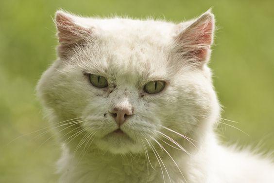 Smolensk Lakeland - Katze