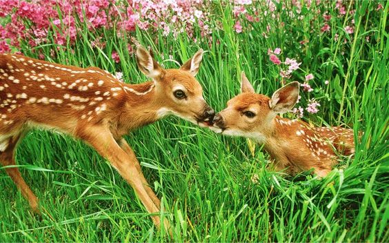 Baby Deer | baby_deer_fawn_11.jpg they are kissing man