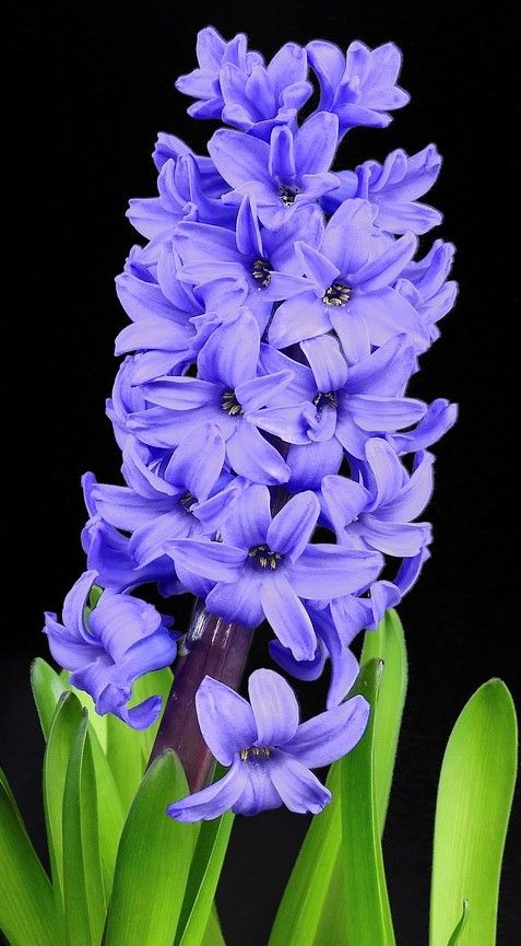 70 Flowers With Meaning Flowersandflowerthings Blue Hyacinth Bulb Flowers Flower Landscape