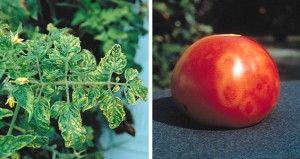 Cultivo del Tomate: Plagas y Remedios 61e10d090e6a9f7004a436703523b866