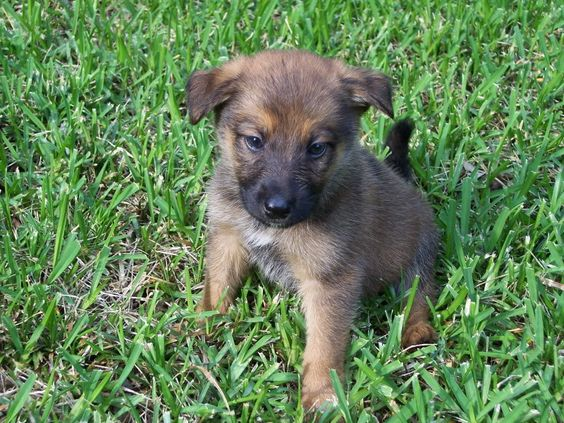 German shepherd mix, Belgian malinois and German shepherds ...