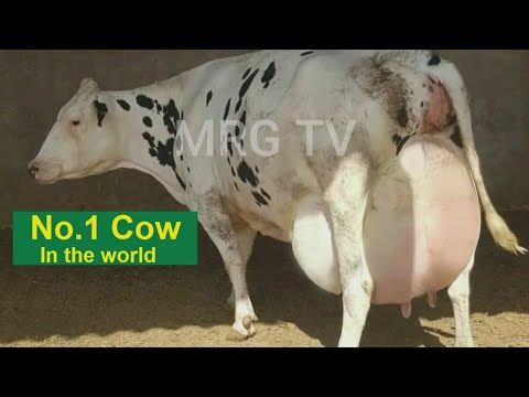 World Biggest No 1 Holstein Friesian Cow In The World Youtube Friesian Holstein World S Biggest