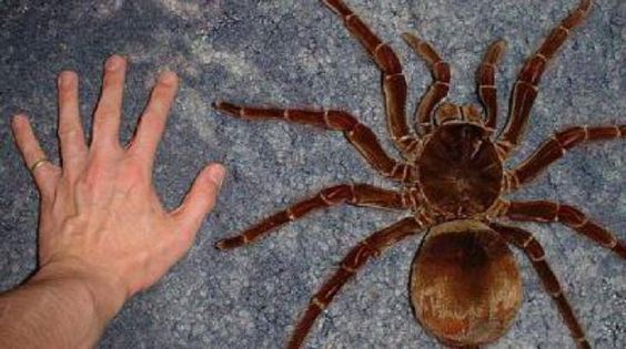 Goliath bird-eater - Theraphosa blondi - tarantula. I'm looking forward to touching one of these when I visit FuckThatistan.: